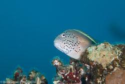 BD-120425-Marsa-Alam-6515-Paracirrhites-forsteri-(Schneider.-1801)-[Blackside-hawkfish].jpg
